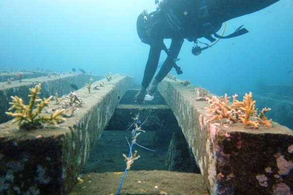 Dive volunteer underwater planting coral