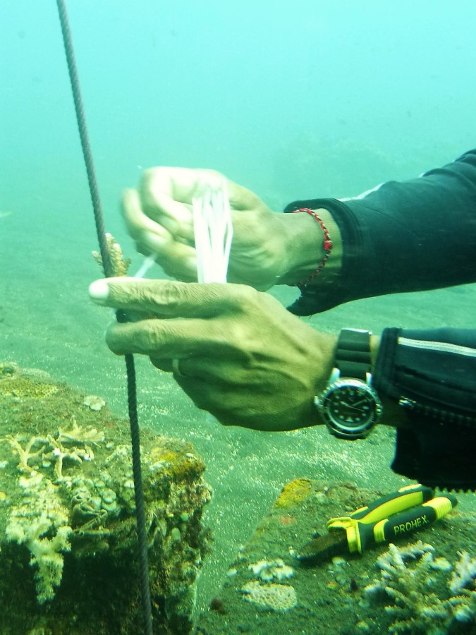 Dive volunteer planting coral on a string