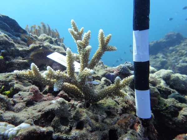 Dive volunteer measuring coral